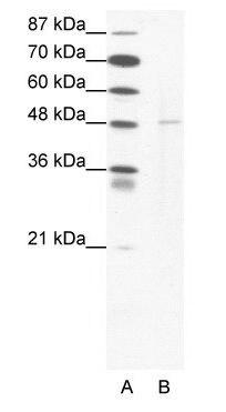 DEK Antibody (PA1-24475)