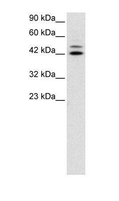 IRF8 Antibody (PA1-24478) in Western Blot