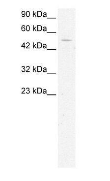 GTF2H1 Antibody (PA1-24494) in Western Blot