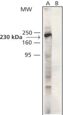 MYO9B Antibody (PA1-24950)