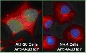 GAI3 Antibody (PA1-25688)