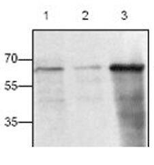 CD154 Antibody (PA1-26457)