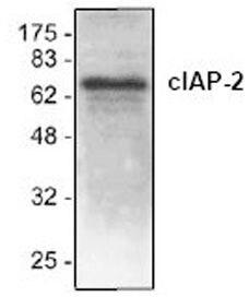 cIAP2 Antibody (PA1-26473) in Western Blot