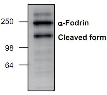 alpha-II Spectrin Antibody (PA1-26484)