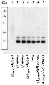 Phospho-p38 MAPK alpha (Thr180, Tyr182) Antibody (PA1-26679)