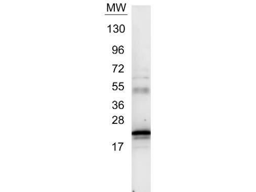 IL-6 Antibody (PA1-26811) in Western Blot