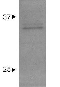 APOE Antibody (PA1-26902) in Western Blot