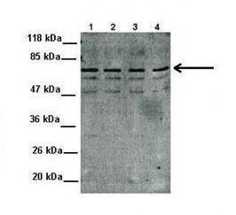 MDMX Antibody (PA1-27958)