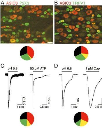 ASIC3 Antibody (PA1-27981) in Immunofluorescence