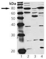cGKI Antibody (PA1-28083)