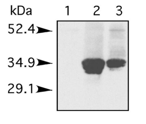 Histone H1 Antibody (PA1-28374)
