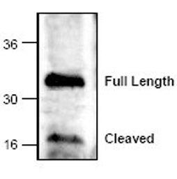 Caspase 6 Antibody (PA1-28386) in Western Blot
