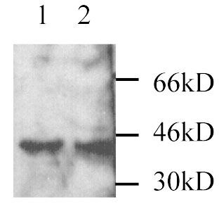 MEK3 Antibody (PA1-28434)