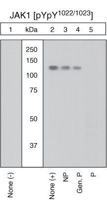 Phospho-JAK1 (Tyr1022, Tyr1023) Antibody (PA1-28444) in Western Blot