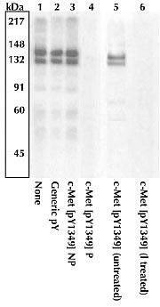Phospho-c-Met (Tyr1349) Antibody (PA1-28464) in Western Blot