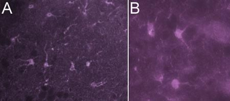 Mouse IgG Secondary Antibody (PA1-28565)