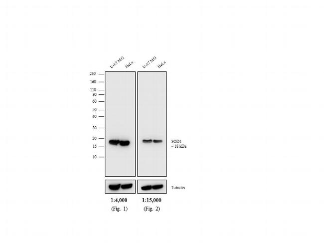 Mouse IgG Secondary Antibody (PA1-28568) in Western Blot