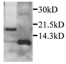 CXCL2 Antibody (PA1-28895) in Western Blot