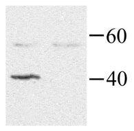 GNAI2 Antibody (PA1-28931)