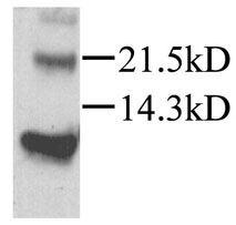CXCL12 Antibody (PA1-29029) in Western Blot