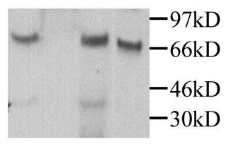 MPEG1 Antibody (PA1-29037)