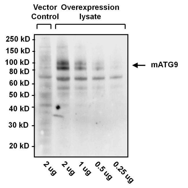 Hamster IgG Secondary Antibody (PA1-29626) in Western Blot