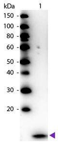 beta-2 Microglobulin Antibody (PA1-29662)