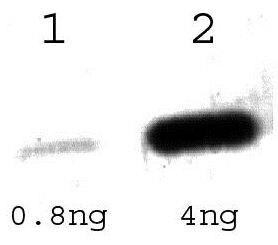 Tet Repressor Antibody (PA1-29677) in Western Blot