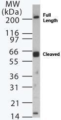 Dicer Antibody (PA1-29791) in Western Blot