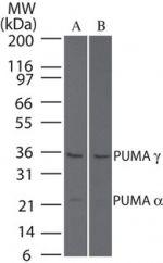 HCAR2 Antibody (PA1-29807) in Western Blot