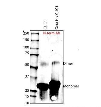 CLIC1 Antibody (PA1-30044) in Western Blot