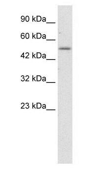 ZNF683 Antibody (PA1-30046) in Western Blot