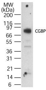 CGBP Antibody (PA1-30202) in Western Blot