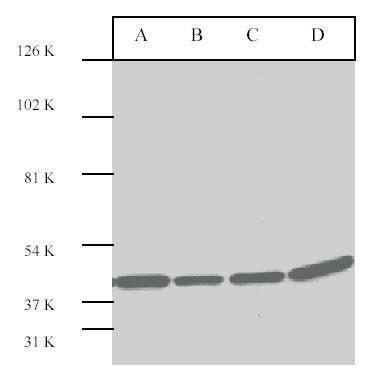 ERK2 Antibody (PA1-30388) in Western Blot