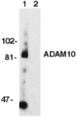 ADAM10 Antibody (PA1-30676) in Western Blot