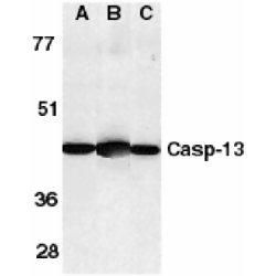 Caspase 13 Antibody (PA1-30684) in Western Blot