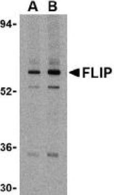 FLIP Antibody (PA1-30801) in Western Blot