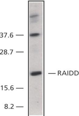 RAIDD Antibody (PA1-30805) in Western Blot