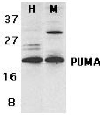 PUMA Antibody (PA1-30829) in Western Blot