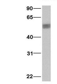 PDCD4 Antibody (PA1-30866)