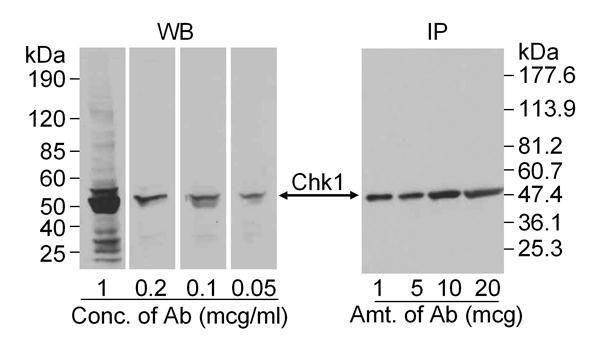 Chk1 Antibody (PA1-30906)
