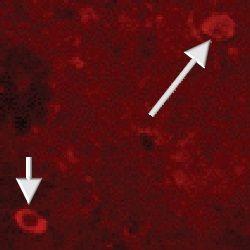 NPY Antibody (PA1-30932) in Immunofluorescence