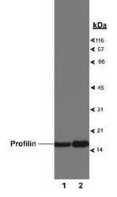 Profilin 1 Antibody (PA1-31028)