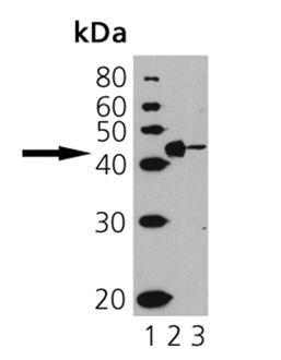 CD40 Antibody (PA1-31075) in Western Blot