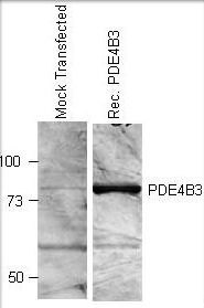 PDE4B Antibody (PA1-31138)