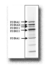 PDE4A Antibody (PA1-31151) in Western Blot