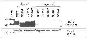 BST-2 Antibody (PA1-31166)