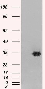 MORF4L2 Antibody (PA1-31240) in Western Blot