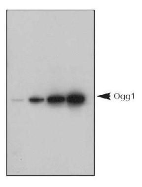 OGG1 Antibody (PA1-31402) in Western Blot