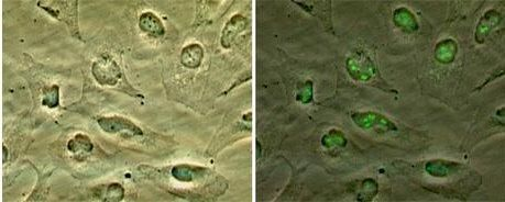 CDKN2A Antibody (PA1-31409)